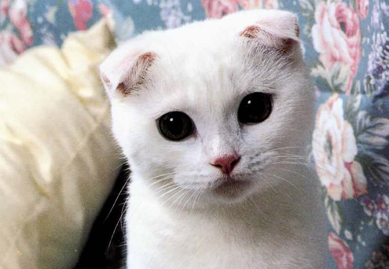 scottish-fold-bianco-ok