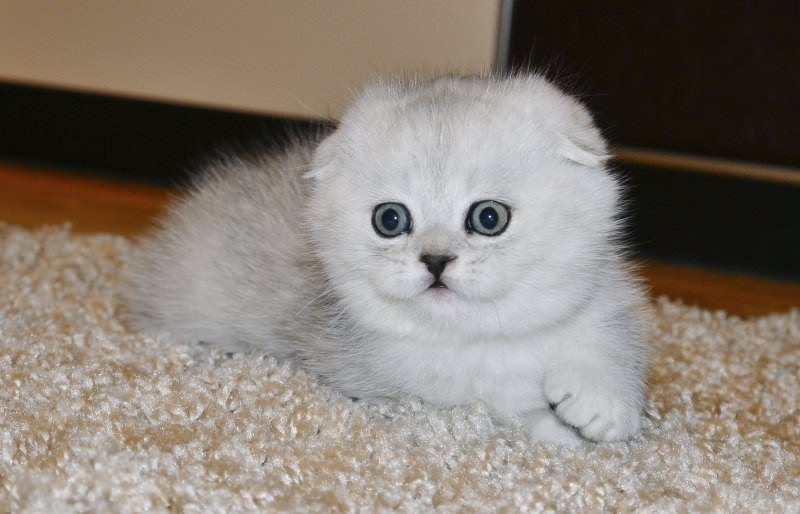 scottish-fold-chinchilla