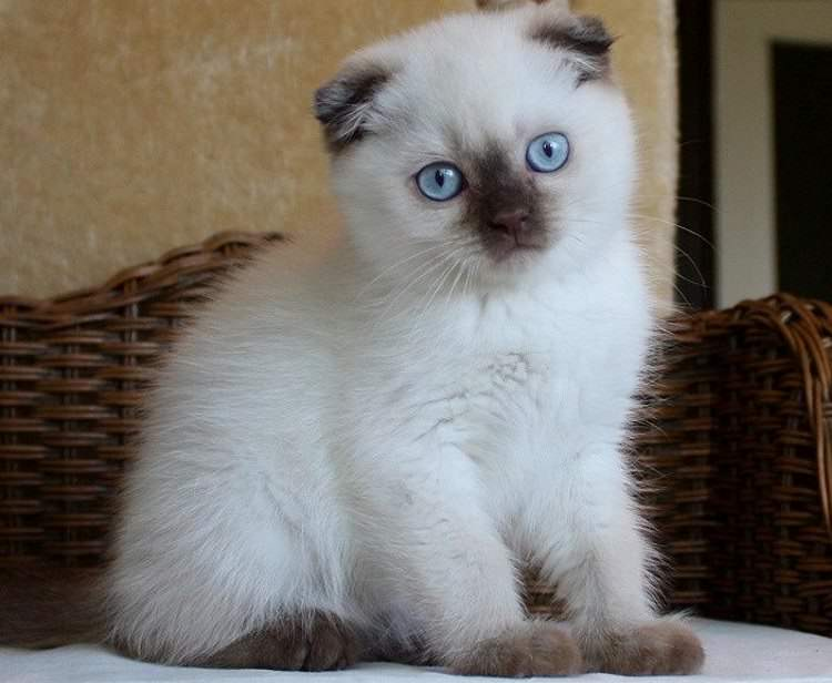 scottish-fold-colourpoint