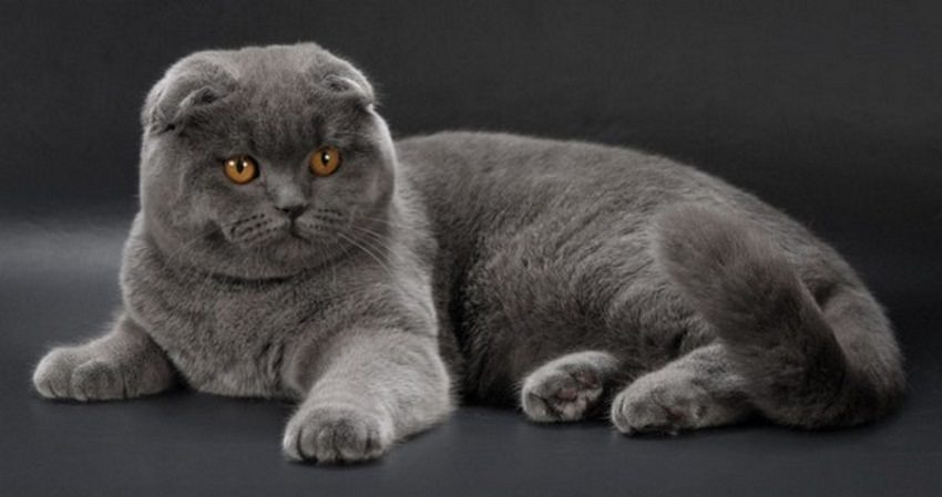 scottish-fold-corpo