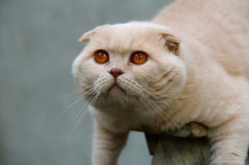 scottish-fold-cream