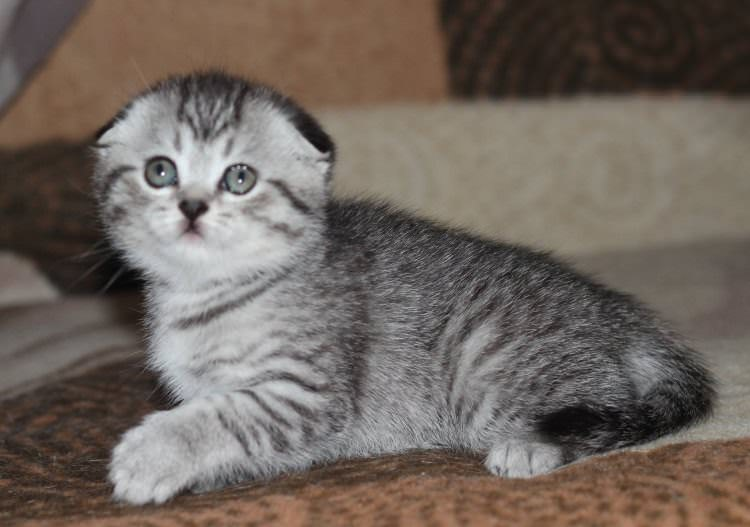 scottish-fold-cuccioli