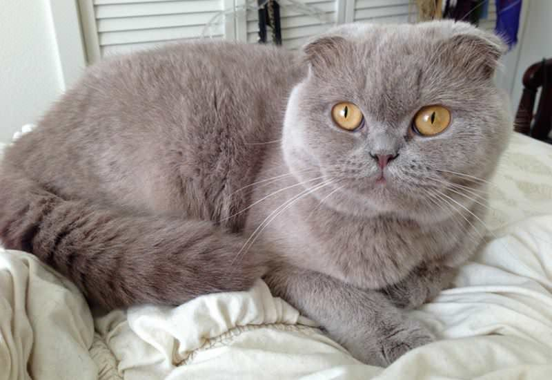 scottish-fold-lilac