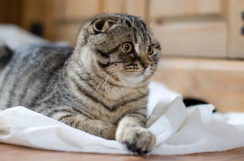 scottish-fold-mackerel-tabby