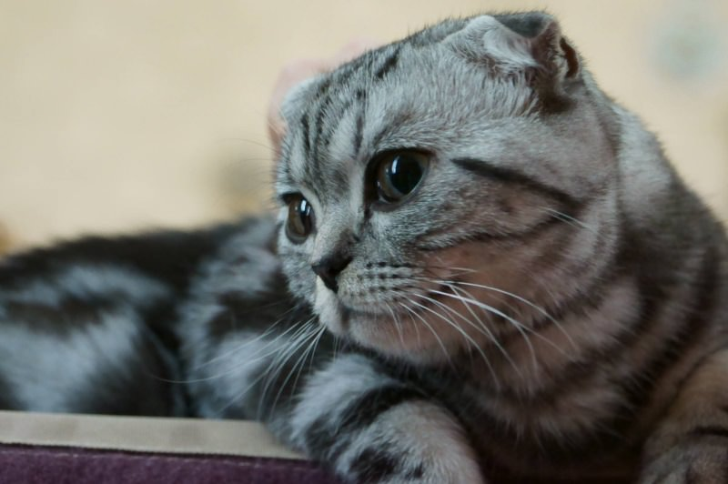 scottish-fold-morfologia