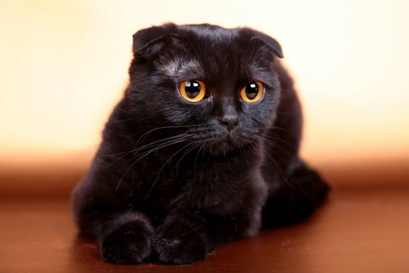 scottish-fold-nero