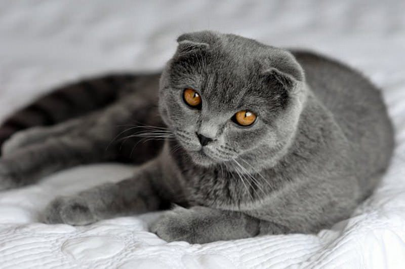 scottish-fold self-blue