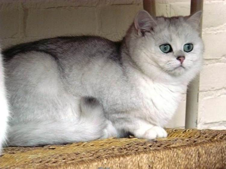 scottish-fold-silver-shaded