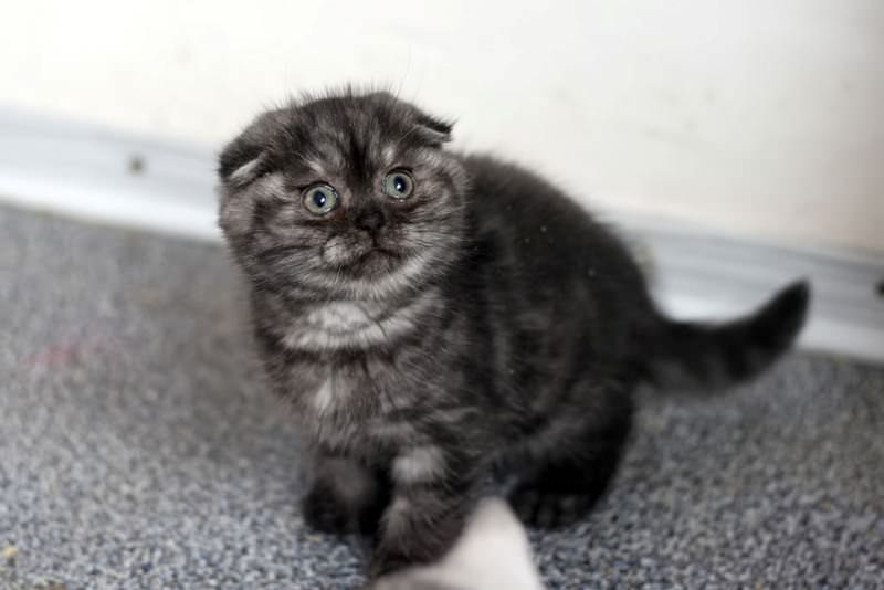 scottish-fold-silver-smoke