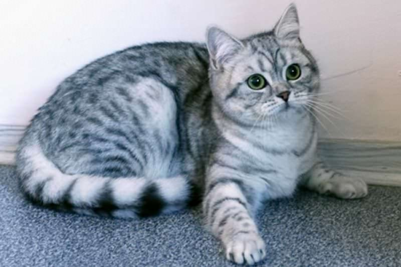 scottish-fold-silver-tabby