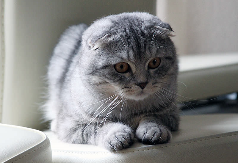 scottish-fold-silver
