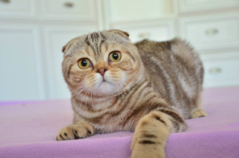 scottish-fold-tabby-classic