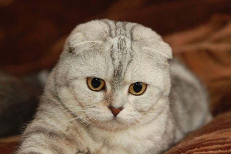 scottish-fold-testa