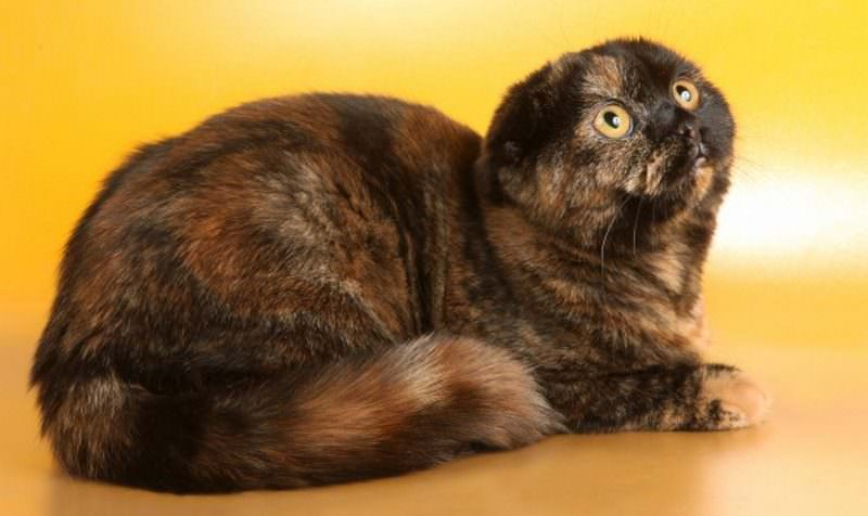 scottish-fold-tortie