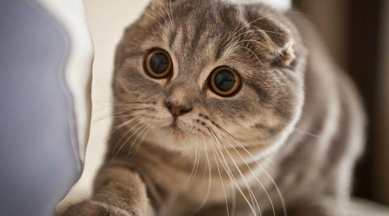 gatto-orecchie-piegate