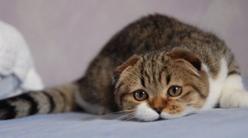 scottish-fold-tenerone