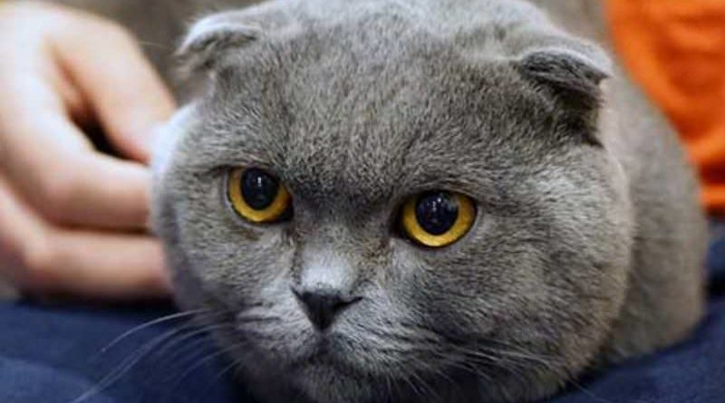 scottish-fold-cure