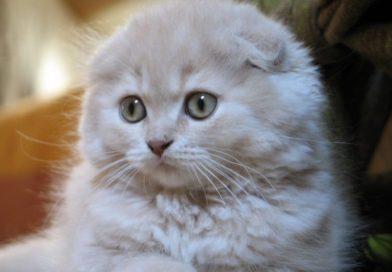 Highland Fold o gatto Scottish Fold a pelo lungo: conosciamolo insieme