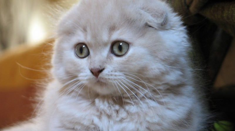 highland-fold-scottish-fold-pelo-lungo
