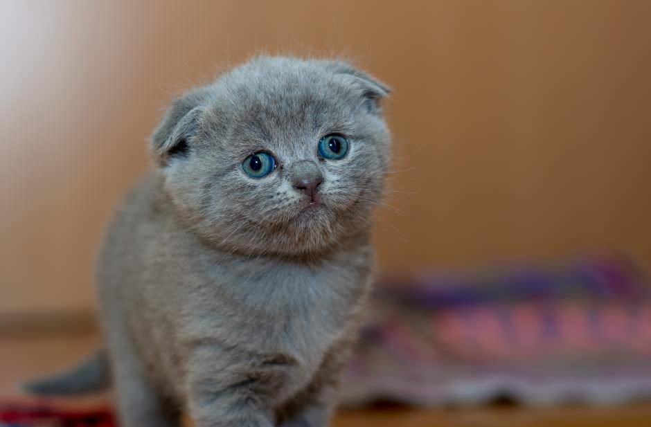 Cuccioli di gatto Scottish Fold: prezzo