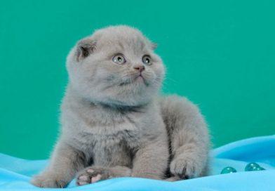 Prezzo Scottish Fold: quanto costa un gatto dalle orecchie piegate?