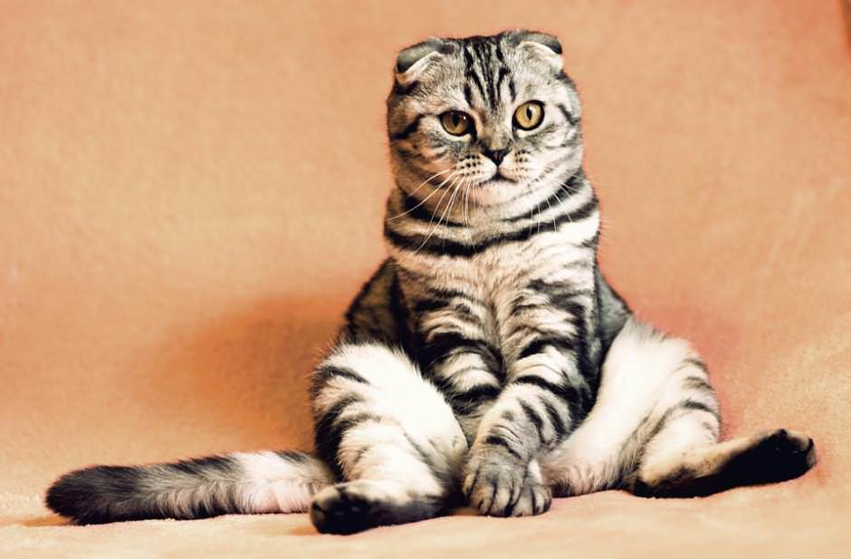 Scottish Fold prezzo